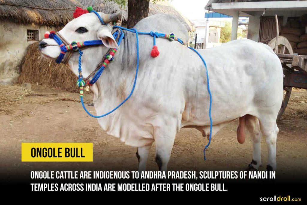 Ongole Bull